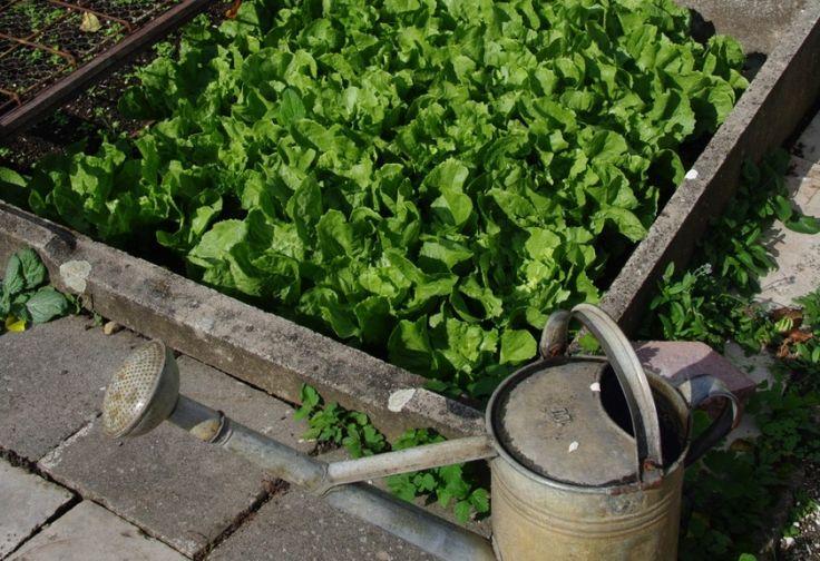 Tíz zöldség, amely a sötét oldalon is megterem   Hobbikert.hu