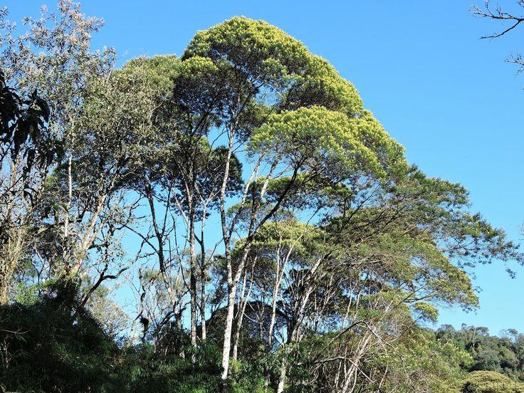 Mimosa scabrella (Bracatinga)