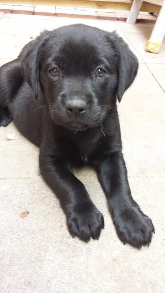 schwarze Labrador Welpen zu verkaufen
