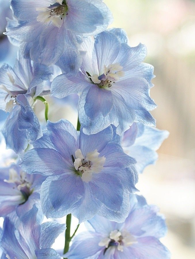 Possibly add a touch of the powder blue delphinium to the bouquets? Delphinium by Bastiaan L.
