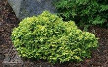 Chamaecyparis pisifera ' Gold Pin Cushion ' Miniature Sawara Cypress
