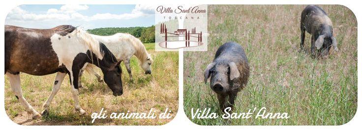 Ecco gli animali che popolano la nostra tenuta !  Vieni a conoscerli di persona: http://www.santannavillatoscana.com/area_it.asp?idCanale=19&sezione=1  #cavalli #maiali #animali #equitazione #ValdiCornia #sassetta