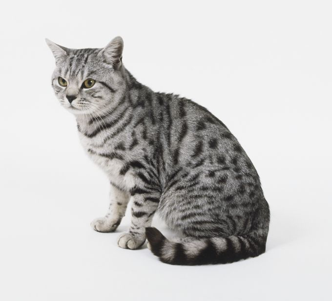 American Shorthair American Shorthair Cat British Shorthair Cats Cat Breeds