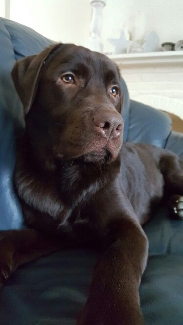 Spike 8 maanden  ...chocolate labs...pure sweetness, inside and out...♥♥♥