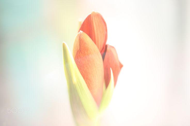 Amaryllis eye by Katalin Bölcskei - Photo 136105209 - 500px