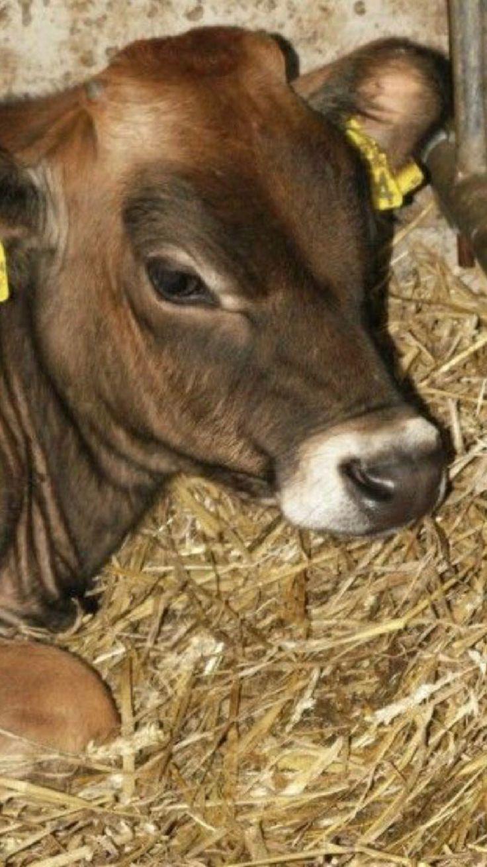 Dairy breeds image by Jim Durham on Austrian 1 Cattle