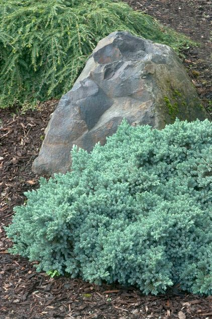 Shore juniper is just one favorite, and a newer form, Juniperus conferta 'Blue Pacific', is blue-green, hugs the ground and spreads well in dry places. 'Blue Star' juniper, shown, looks like a bonsai as it forms a mound;