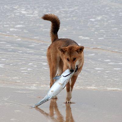 Які собаки їдять рибу? дінго! Собаки Дінго потрапили в Австралію ще не зовсім домашніми і своїми звичками були схожі на диких азіатських вовків. Харчується Дінго гризунами, єхиднами, крабами, фруктами і комахами (в основному жуками). Дінго з острова Фрейзер знамениті тим, що їдять рибу.