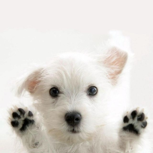 Cute puppies photos: White puppy wallpaper