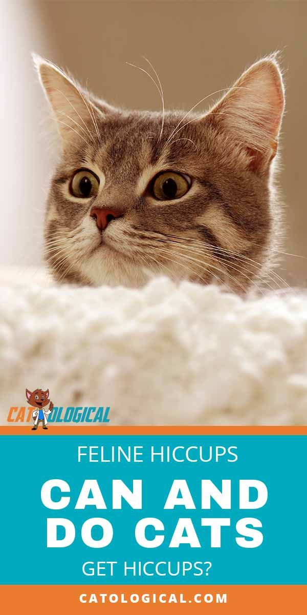 Feline Hiccups Can And Do Cats Get Hiccups Cat Care Cat Having Kittens Cats
