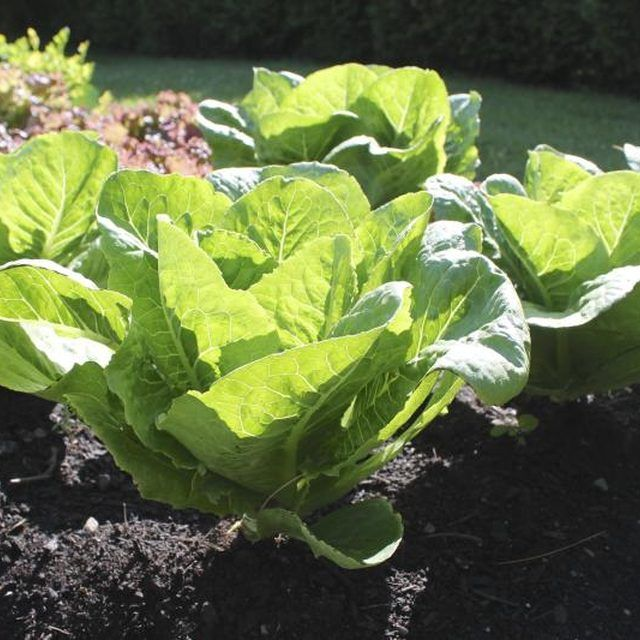 "Sample the goods; if it tastes ""right,"" romaine is ready to harvest."
