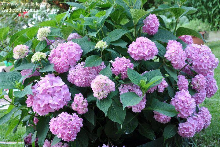 hydrangea macrophylla 39 bailmer 39 endless summer 39 the. Black Bedroom Furniture Sets. Home Design Ideas