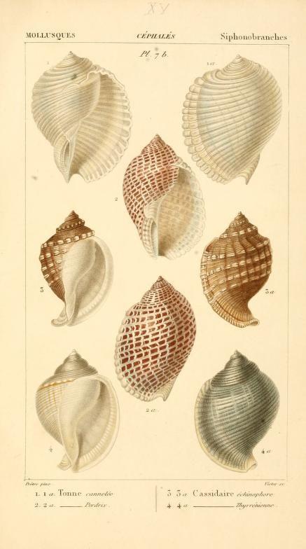 Sea shells #nature #shells #scientific #illustration.