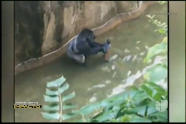 Matan A Gorila En Zoológico De Ohio Para Proteger A Un Niño