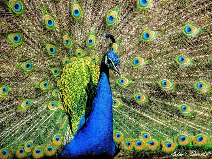 Peacock - Rodini Park