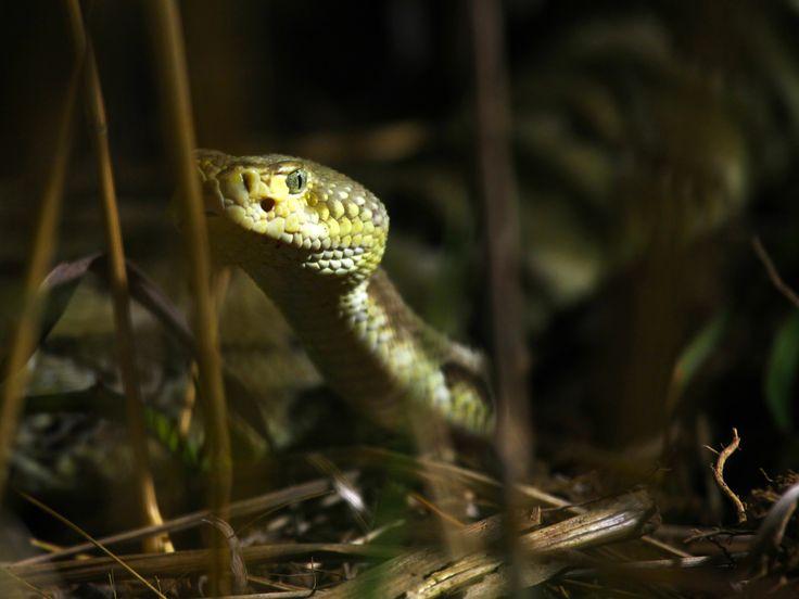 """Η φωτογραφία της ημέρας από την εκπομπή του Nat Geo Wild """"Killer Shrew""""! #rattlesnake #picoftheday #NatGeoChannelGR #NGC"""