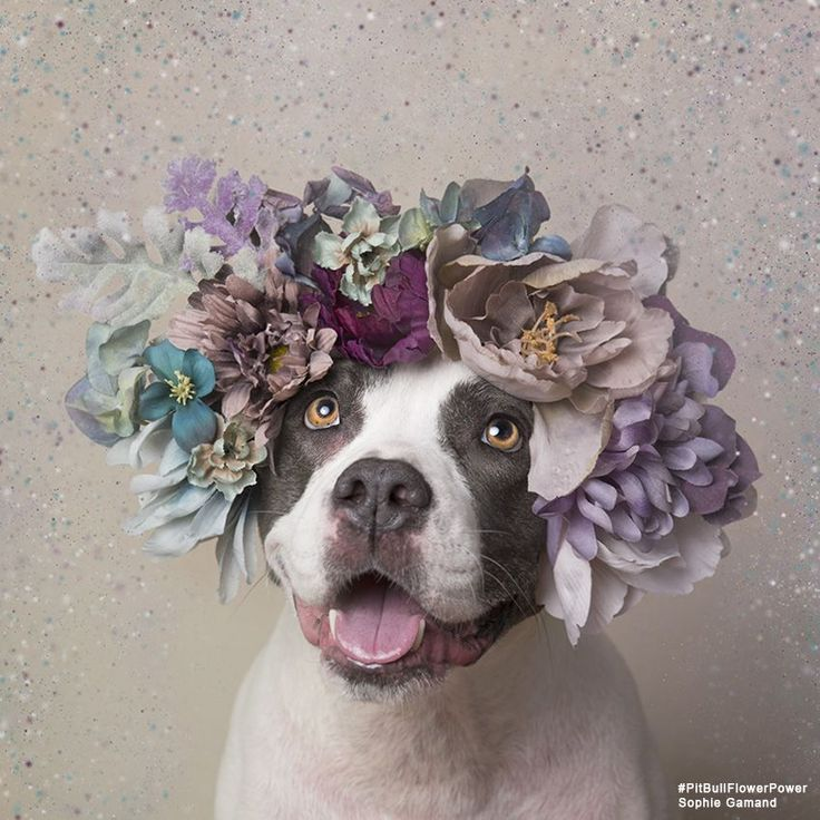 """Sophie Gamand, the amazing French photographer whose images of dogs are probably already beautifying your Instagram, has a new series that's sure to make your heart swell. The series, called """"Pit Bull Flower Power,"""" is working to help rescue pit bulls get adopted by showing them in a different, more positive light. Between 800,000 and 1 million pit bull-type dogs are euthanized in the U.S. each year; if that number doesn't shock you, it should! That's almost 2,800 dogs killed every day…"""