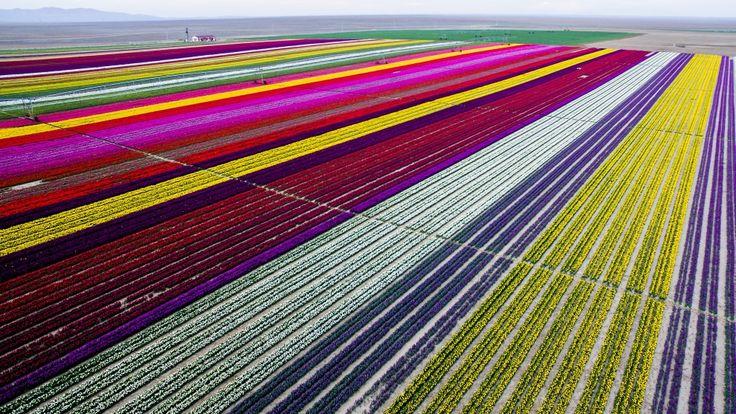 Tulipanowe imperium