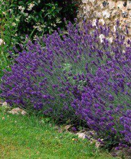 Vendita Piante Online - Piante da siepe, ornamentali, da fiore e aromatiche per il tuo giardino o terrazzo - consegna gratuita con corriere espresso http://www.letuepiante.it/