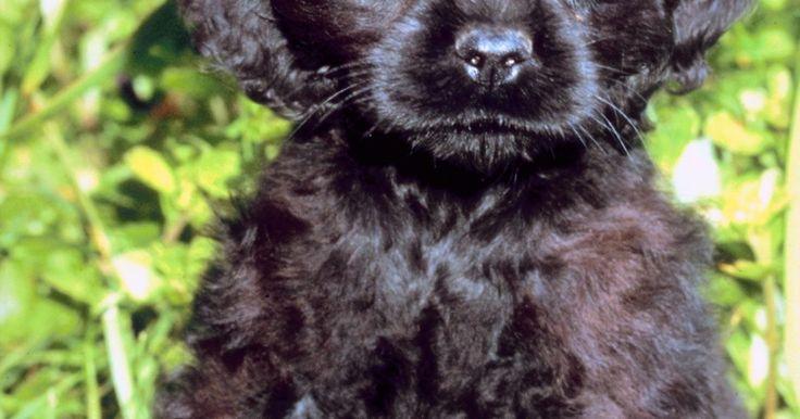 Variedades de cocker spaniels . Los cocker spaniel son una raza de perros relativamente pequeña que originalmente eran criados perro de deporte. Son populares como perros de exhibición y son una raza cariñosa y amistosa que se acopla bien al ambiente familiar. De acuerdo con el American Spaniel Club, son perros de compañía por naturaleza. Al escoger a un cocker spaniel, ...