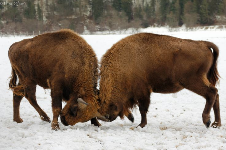 Fighting bisons