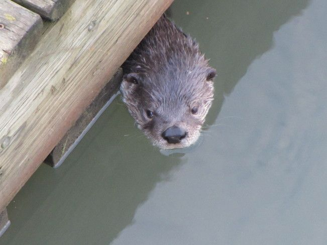 River Otter in Salmon Arm BC 8-11-12