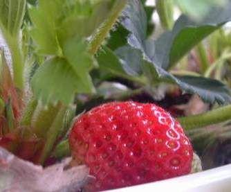 Lust auf ganz viel eigene leckere Erdbeeren pflücken? Na dann mal los. Im Nutzgarten hat man es vor allem mit zwei Spezies von Erdbeeren zu tun: Fragaria ananassa  (Garten- oder auch Kulturerdbeere) und vielleicht auch mit der Fragaria vesca, der Walderdbeere, die deutlich kleinere, aber auch leckere Früchte bringt und ganz hübsch anzuschauen ist.   Foto meiner Hängeerdbeere (sorry, bei mir  ...