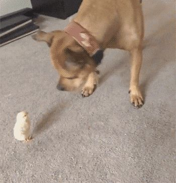 Chick Chases Dog