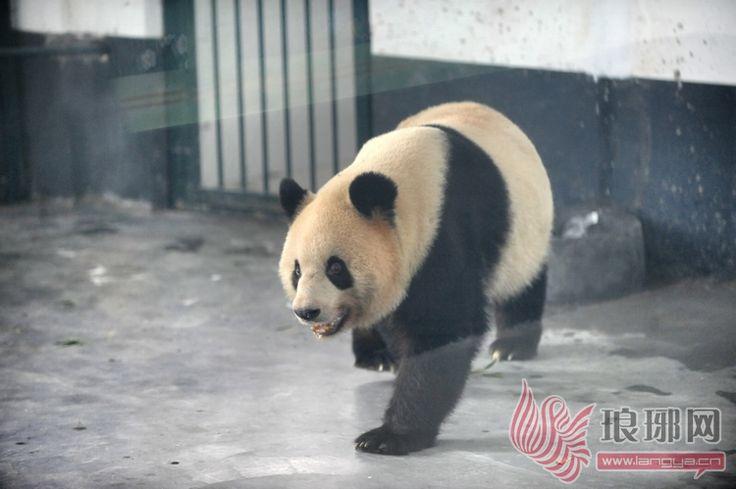 临沂动植物园搬家:大熊猫迪迪和龙腾空降临沂 享贵宾级待遇 ;琅琊网|临沂门户|临沂新闻|传播新闻 网络生活