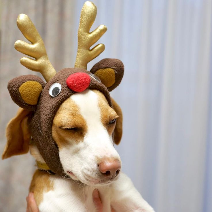 Rudolph the pink nosed Beagle..