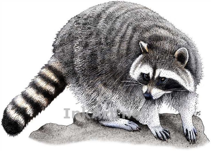 Full color illustration of a Northern Raccoon (Procyon lotor ...
