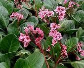 bergenia - abendglut schoenlappersplant