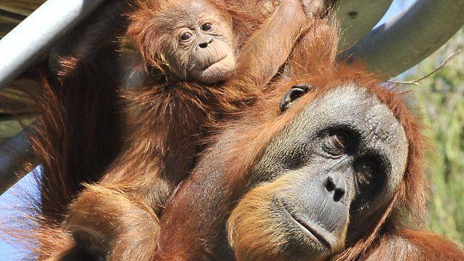 Two baby orangutans born at Perth Zoo