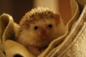 funny hedgehog with teeth sticking out