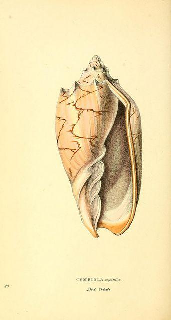 n233_w1150 #nature #shells #seashell #scientific #illustration
