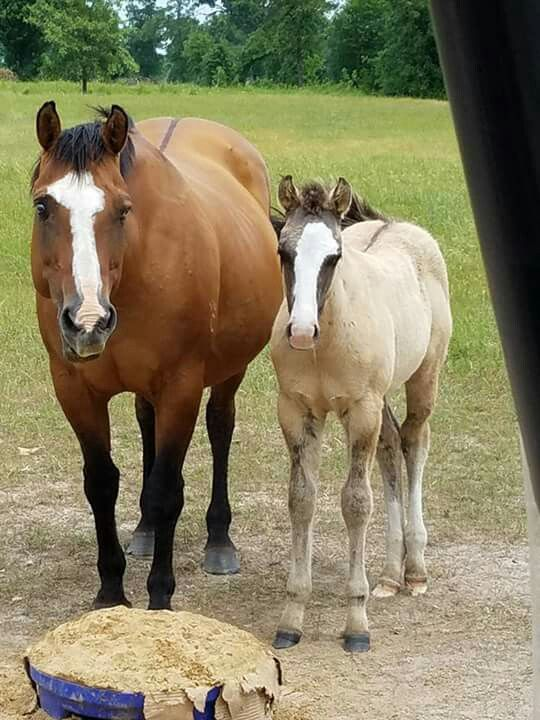 Bay momma and a Buckskin baby!