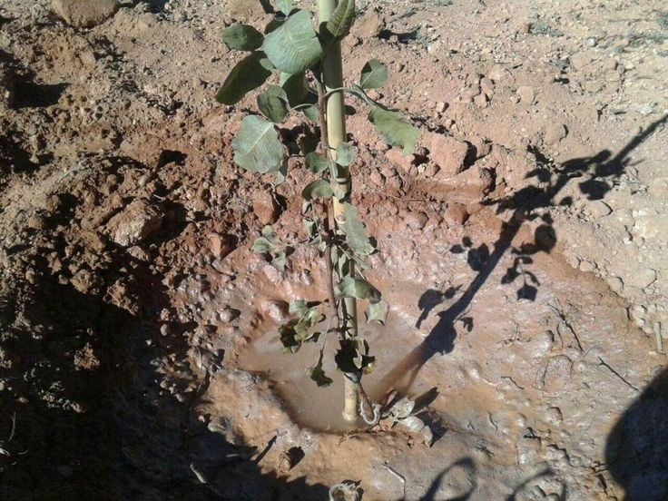 Como Plantar un Pistachero - Imagen tras plantación