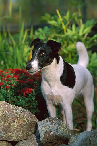 Smooth Fox Terrier (Canis familiaris) adult in garden