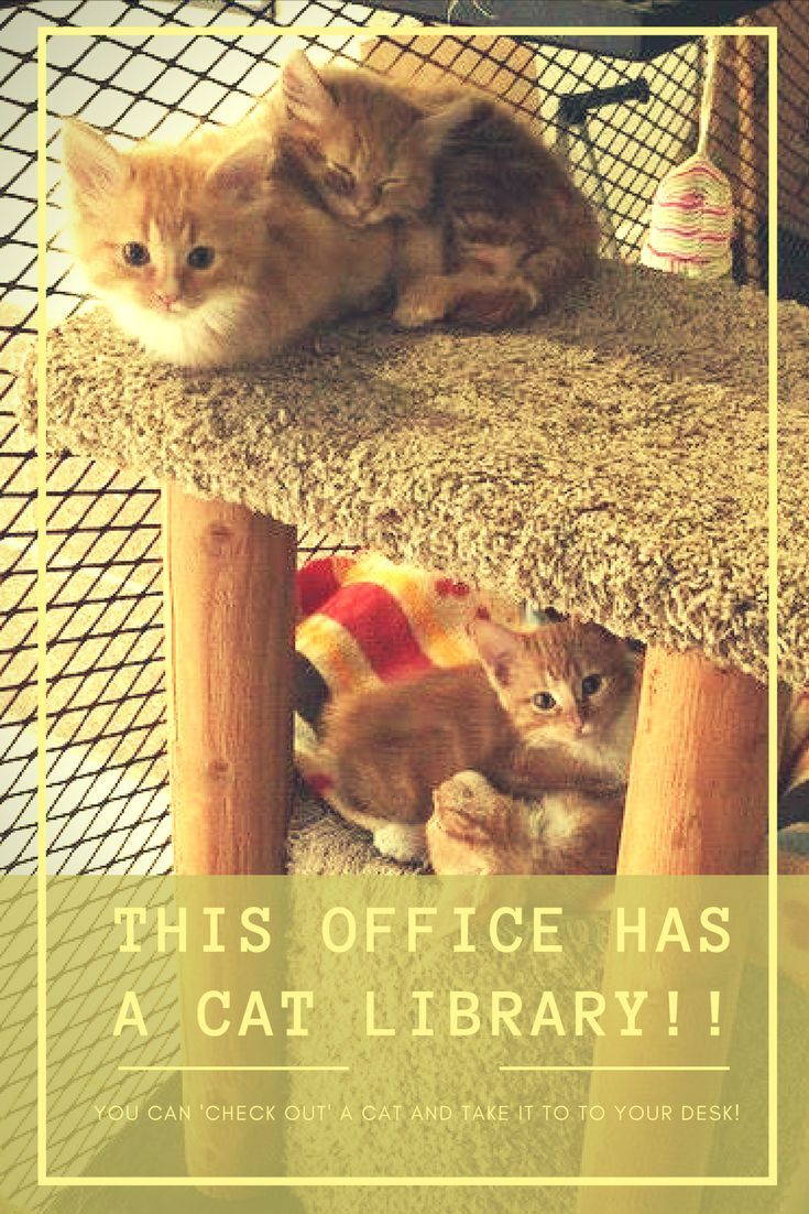 Office Has Cat Library Employees Can Check Out Cats To Take To Their Desk Cats Cute Cats And Kittens Benadryl For Cats