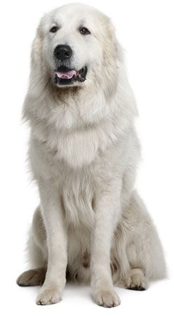 Great Pyrenees:   This giant, gorgeous dog was bred to be a guard dog and has strong territorial instincts.