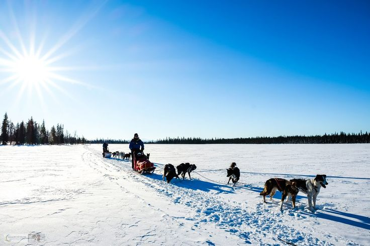 Travel to Sweden: #photography of sled #dogs in Swedish #Lapland http://malloryontravel.com/2017/03/postcard/sled-dogs-swedish-lapland/ | #DogSledding #SwedishLapland #SiberianHuskies