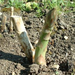 How to Succeed at Planting Asparagus - With Just a Little Planning First | Vegetable Garden Guide