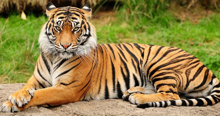 There Are Only 100 Tigers Left In Bangladesh. Here Are Their Names.