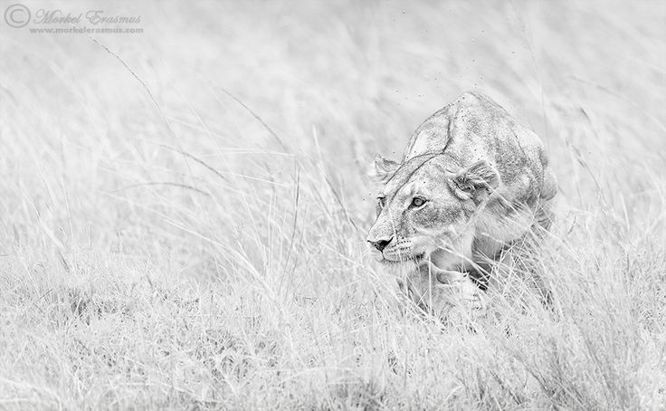 A focused lioness stalks her prey in the Mara Triangle, Kenya...this is one of many sightings of lions hunting that we saw on our Wild Eye Great Migration safari last year. Prints can be ordered directly by mailing PRINTS@MORKELERASMUS.COM You can join me on safari: WILD EYE PHOTO-SAFARIS Other links: WEBSITE FACEBOOK GOOGLE+ This photo is Copyrighted © Morkel Erasmus Photography.