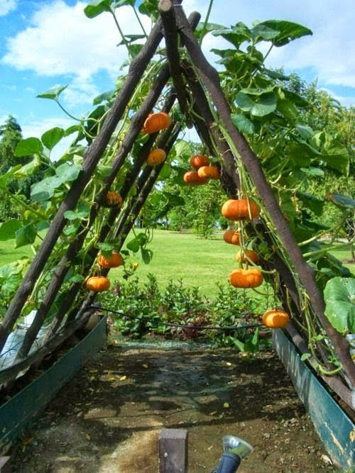 Great way to grow Pumpkins, Great Idea!!