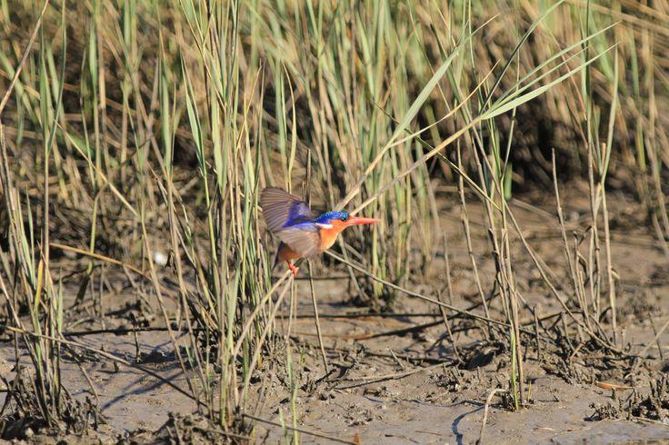 Malachite Kingfisher, Kariega River