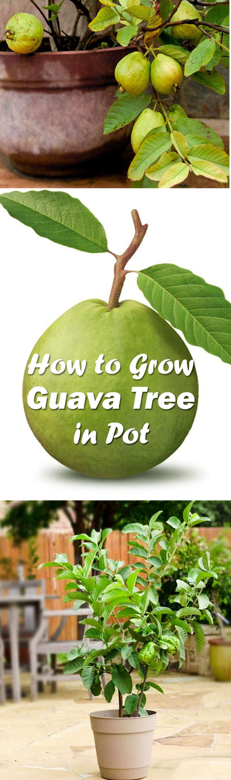 Learn to grow guava tree in a pot. It will delight you with its sweetly scented flowers, delicious fruits, and beautiful tropical appearance.