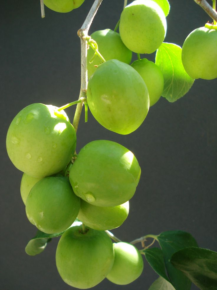 Tropical fruit tree,Taiwan Jujube, The jujube is a big, deciduous tree. And the fruit are tasty!