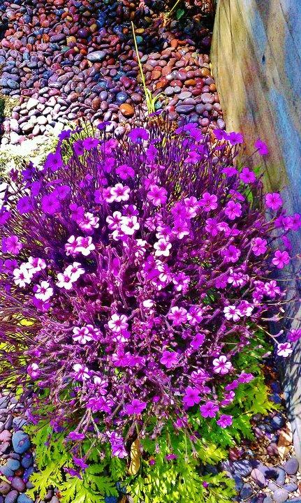 63 best ideas about eastern sierra drought heat gardens for Purple flower shrub california