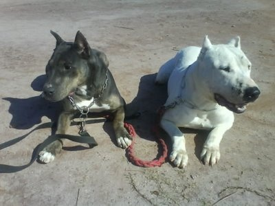 The Dogue Brasileiro.  These are commonly bred from Boxer and English Bull Terrier blood.
